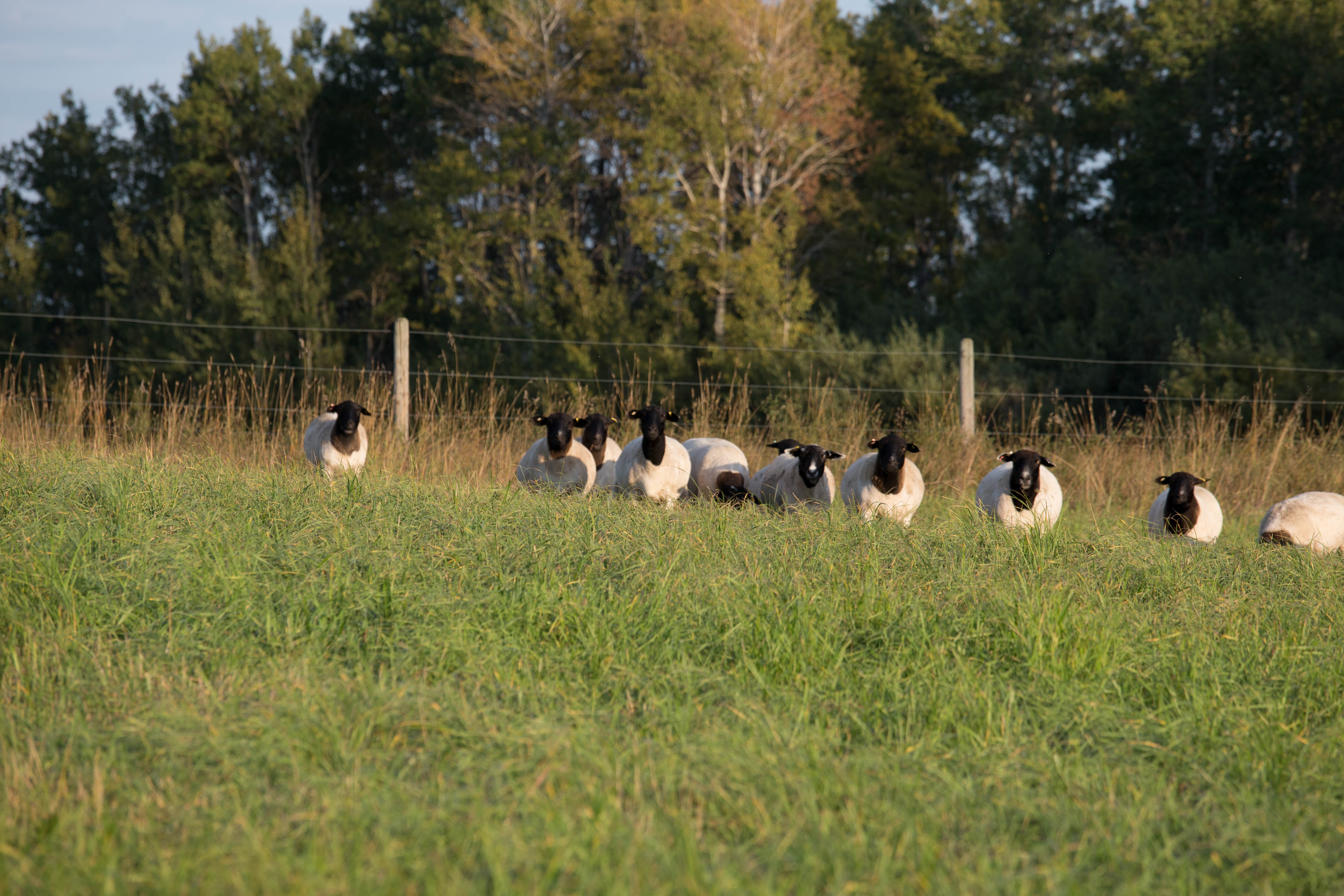 Ewes Heads Up