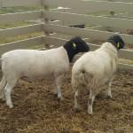 Ram Lamb 531