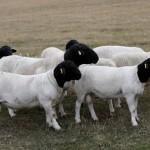 Ram Lamb group1