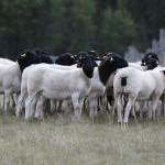 2014 Ewel Lambs