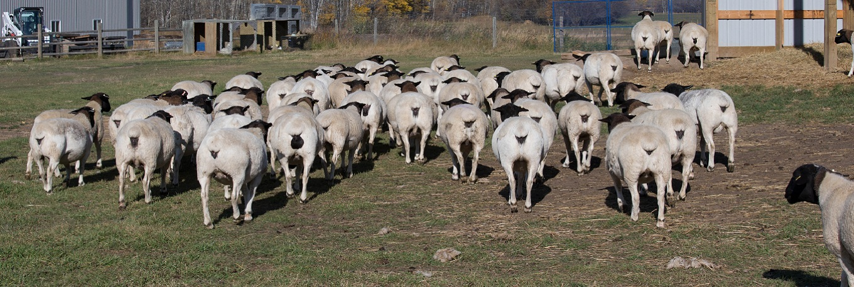slider-ewes