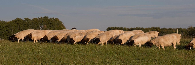 slider-ewesfeeding