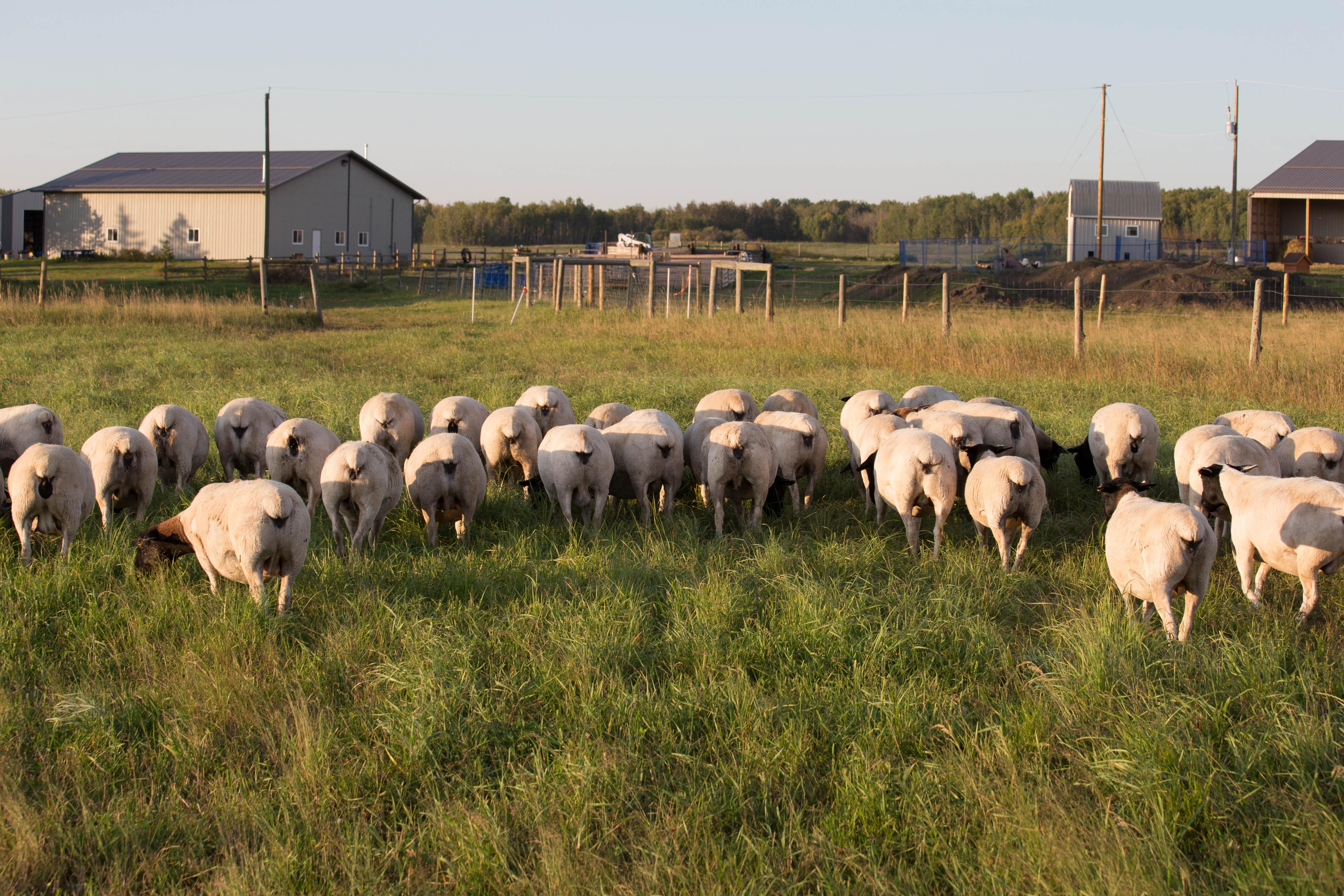 Dooglynn Dorpers and Borders - Dorper Sheep